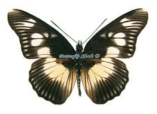 Unmounted Butterfly/Nymphalidae - Pseudacraea lucretia protracta, male, A1/A-