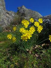 Daffodil, Narcissus rupicola seeds