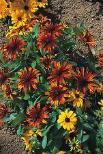 Rudbeckia Rustic Dwarfs mixed - 50 seeds  - Perennials