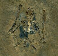 Messel Bat Fossil --- Eocene Palaeochiropteryx from Germany