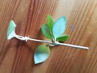 Hoya young house plant or cutting