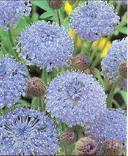 100 BLUE LACE FLOWER Island Daisy Trachymene Seeds