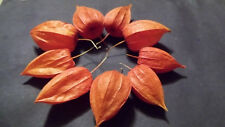 Nine dried Chinese Lantern seed pods from Physalis alkekengi plants, for crafts