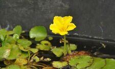 7 Seekannen  komplette Jungpflanzen  für 40 bis 80 cm Wasserstand