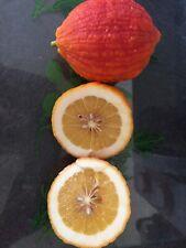 5 Graines / Pépins De Citron ROUGE Lime Rouge  Citrus Agrume Rare