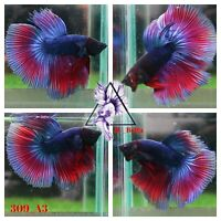 [309_A3]Live Betta Fish High Quality Male Fancy Over Halfmoon 📸Video Included📸