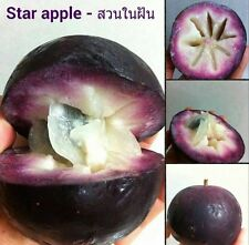*UNCLE CHAN* 5 seeds PURPLE STAR APPLE Caimito Chrysophyllum cainito Rare Fruit