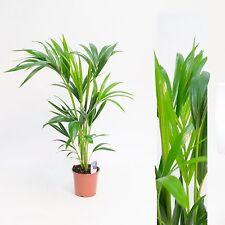 Howea forsteriana 90cm +/- Kentia Palme Zimmerpflanze Kentiapalme Zimmerpalme