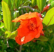 Dwarf Pomegranate - PUNICA GRANATUM NANA  - 12 Seeds - Vegetables/ Fruits