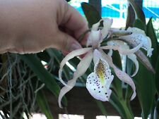 Schom. Brysiana X B. Nodosa 'Paul Storm' Large Orchid Plant