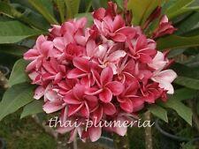 "PLUMERIA ""KIMI MORAGNE"" Fragrant Flower Frangipani plant"