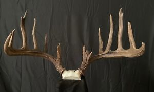 "Librado Texas Buck  WHITETAIL ,ANTLER ,DEER ANTLERS TAXIDERMY 200""+"