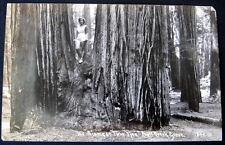Bull Creek CA~  Blond Lady  in Hot Pants!~Redwoods~RPPC