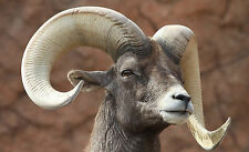 Fall Sale Desert Bighorn Sheep Taxidermy Reference Photo Cd