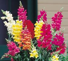4000 BABY SNAPDRAGON MIX, Toadflax Linaria Flower Seeds + FREE GIFT