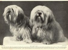 1930s Antique Lhasa Apso Dog Print Satru and Sona Golden Lhasa Apso Dogs 3696-E