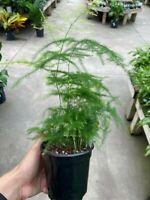 "Plumosus Asparagus - 4"" Pot - Asparagus Fern"