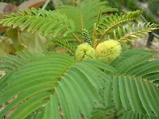 Cape Leeuwin Wattle or Crested Wattle Seed Small Evergreen Tree Winter Flowering