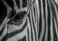 A4| Zebra Stripes Poster Size A4 Eye Wild Animal Africa Poster Gift #14563