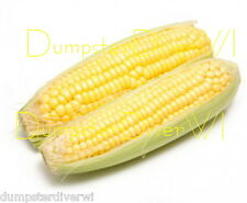 "Nk 199 yellow Hybrid SWEET CORN 35+ seeds  8"" big barrel shaped ears  NON-GMO"