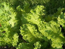 3000 Southern Giant Curled Mustard Greens Seeds Heirloom - Gift - Comb S/H