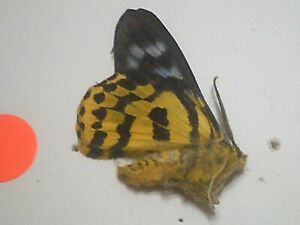 Dried Insect/Butterfly/Moth Non set B7782 Rare Dysphania militaris Yellow/Black