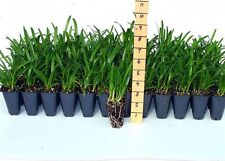Agapanthus Lily of the Nile Qty 30 Live Plants Ground Cover Grass
