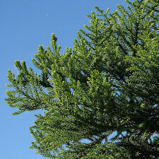 Hoop Pine tree 20cm tall Araucaria cunninghamii