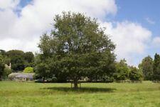 Quercus canariensis-RARE Oak TREE PLANT in 9 cm pot