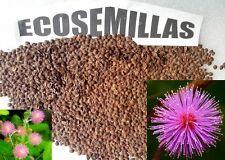Mimosa púdica, sensitiva, encoge al tocarla, ver acceso a vídeo, 40 semillas