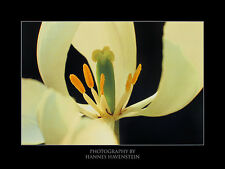 Hannes Havenstein White Tulip Poster Kunstdruck Bild 60x80cm
