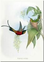 "John Gould Hummingbird BeeEater *FRAMED* CANVAS PRINT ~ Topaza Pyra 24x16"""