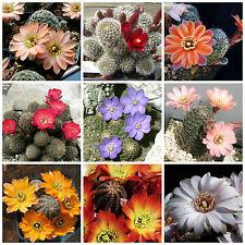 20 semi in miscuglio di Mediolobivia mix ,piante grasse,seed cactus mix
