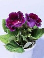 25+ GLOXINIA  PURPLE EMPRESS  FLOWER SEEDS