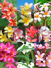 *Rare Exotic* Authentic Mix Colors Tropical Flowers Of Hawaii Plumeria Seeds