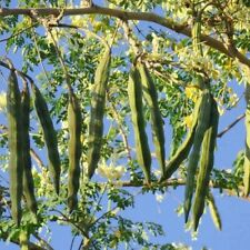 Moringa oleifera Perennial Karnataka | 5_Seeds