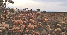500 Brown Cotton Seeds La Brown Cotton Mix Non Gmo