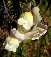 Antirrhinum siculum Sicilian Snapdragon 30 Seeds Fragrant Yellow Blooms UKFreeP