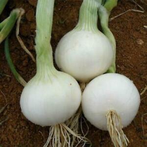 Onion White Utah Jumbo - 100+ seeds - Semillas - Graines - Samen