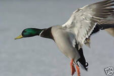 Flying Waterfowl Taxidermy Reference Photo Cd