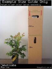 Jaboticaba (Plinia cauliflora) Fruit Tree Plant