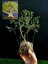 Perfect bonsai - Chinese pepper tree Zanthoxylum - 12 year old For professionals