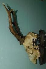 ANCIEN TROPHEE DE CHASSE . CORNE & CRANE DE CHEVREUIL . BOIS 20 cm 6 CORS . n°15