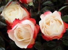 Nostalgia Bush Rose Red White Roses 4L Pot Repeat Flowering 30cm - 60cm Two Tone