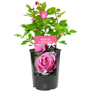 Mum In A Million Rose - Gift For Mum - Live Rose Bush Plant