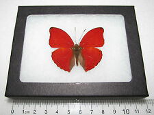 REAL FRAMED BUTTERFLY RED AFRICAN CYMOTHOE SANGARIS