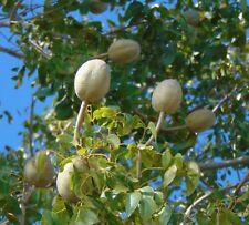 West Indian Mahogany   Swietenia mahagoni   10 Seeds  (Free US Shipping)