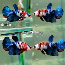 New listing DM26 Imported Live Betta Fish Male Halfmoon Plakat Koi Galaxy USA SELLER