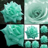 200 Minzgrün Rosen Samen Rosensamen Schmetterlinge BlumeSamen lieben Garten K5H4
