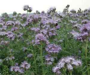 Phacelia tanacetifolia 4gms -1000 seeds (approx) - Flowers loved by Bees